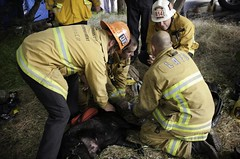 LAFD Crew Vigorously Attempts to Resuscitate Dogs Injured in North Hollywood House Fire. © Photo by Shawn Kaye. Click to view more...