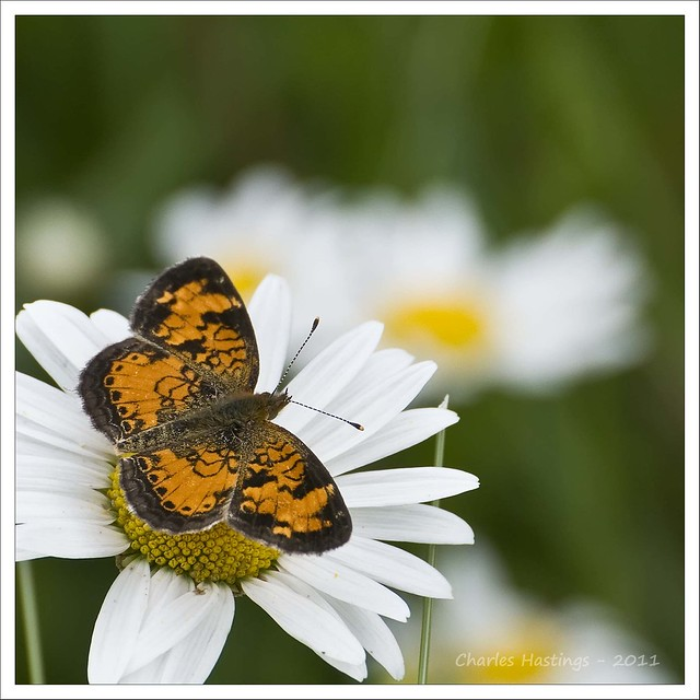 Northern Crescent(Phyciodes cocyta)
