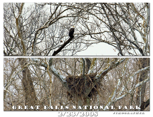 Great Falls Bald Eagles News 2/23/2008 (plus 3/11/2008 update, still on the nest)
