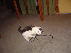 Catnip + his favorite toy (a shoelace) (fagatini) Tags: cats benito
