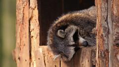 sleeping (mad_airbrush) Tags: nature animals eos wildlife n 1d mk2 wildpark moritzburg mark2 1dmarkiin wildfütterung wildfütterungmoritzburg