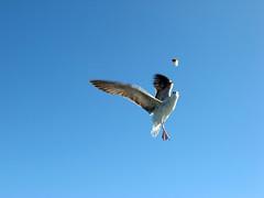IMG_1019 (gezilerden) Tags: ada seagull vapur mart