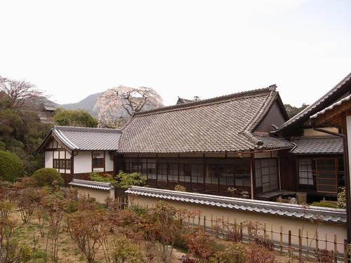 当麻寺(桜)-13
