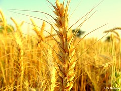 Baisakhi () ('HD' nature) Tags: desktop wallpaper brown india color colour macro art nature colors field grass yellow closeup colorful colours image farm sony crop highdefinition hd hay hq punjab vaisakhi baisakhi dsch3 sonydsch3 derabassi