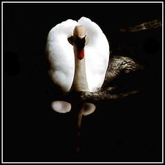 Su Majestad el Cisne (IV) (Jose Luis Mieza Photography) Tags: wonderful bravo flickr fine animales elegant cisne cisnes themoulinrouge firstquality benquerencia justimagine reinante anawesomeshot jlmieza multimegashot floresynaturaleza reinanteelpintordefuego joseluismieza