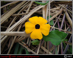Life & Death (| JERRY |) Tags: india joseph jerry kerala yellowflower southindia keralam lifeanddeath calicut naturesfinest kozhikode kakkayam sonydsch9 dsch9 jerryclicks