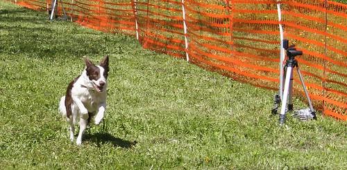 kiirendav koer