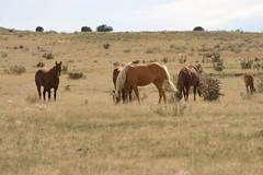 Horses in southern Colorado (Forest Wonderer) Tags: horse colorado plains grassland
