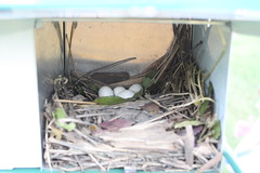 Purple Martin Update