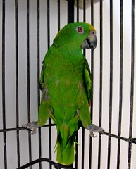 Lucero (youneverknowphotography) Tags: california orange green eyes amazon beak parrot cage baja claws yellownaped