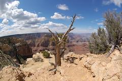 Grand Canyon. (russbengtson) Tags: arizona tree clouds nationalpark desert grandcanyon fisheye geology