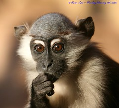 Happy Birthday Lil guy...:O))) (law_keven) Tags: birthday animals zoo monkey primate colchester colchesterzoo mangabey specanimal photoexel cherrycrownedmangabey1st lawkeven
