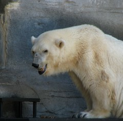 Debby the Polar Bear