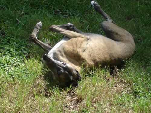 Malibu rolling in the grass