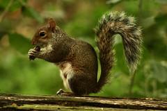 Scoiattolo (flu-1985) Tags: natura scoiattolo stupinigi boschi