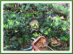 A bonsai version of Podocarpus macrophyllus at a garden center in Kuala Lumpur
