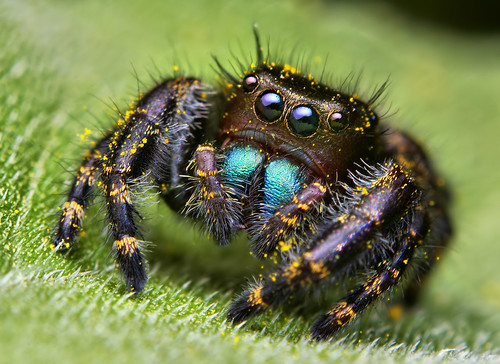 Immature Phidippus audax Jumping Spider by Thomas Shahan.