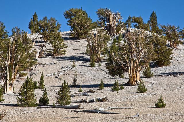 Bristle Cone Pine Forest