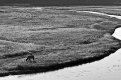 Elk and river (absencesix) Tags: travel bw plants usa nature field grass animals river iso200 unitedstates feeding july noflash yellowstonenationalpark northamerica wyoming elk 2008 mammals locations wy 70200mm locale 70mm canoneos30d camera:make=canon exif:make=canon exif:iso_speed=200 exif:focal_length=70mm activityaction apertureprioritymode july302008 hasmetastyletag naturallocale summer2008travel selfrating4stars yellowstonenationalpark0730200808012008 nearjacksonhole 1400secatf80 geo:countrys=usa exif:model=canoneos30d camera:model=canoneos30d exif:lens=7002000mm exif:aperture=ƒ80 subjectdistanceunknown geo:city=nearjacksonhole geo:state=wy nearjacksonholewyusa