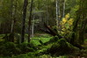 Deep in the Woods (segamatic) Tags: trees green leaves forest canon landscape eos arroyoseco canonef24105mmf4lisusm challengeyouwinner photofaceoffwinner pfogold beautifulworldchallenges thechallengefactory 5dmarkii 5dmkii