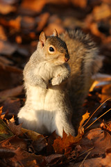 zIMG_4798 (Steve Carter 07798677116) Tags: autumn cute animal squirrel funny wildlife firstplace naturesfinest kineticphoto stevecarter specanimal funnysquirrel macrolife goldstaraward xmo4 mwqio