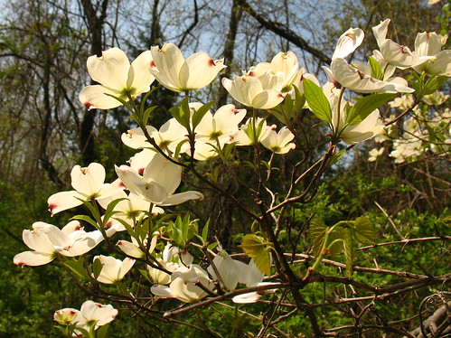 flowering dogwoods in sun
