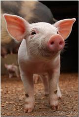 The great Babe (PedroMadruga) Tags: mammal pig babe pico newborn d200 porco pedromadruga southofpico suldopico porquinhosdoandy