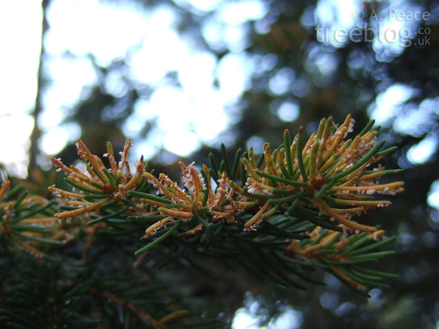 Norway spruce needles suffering from a fungal infection