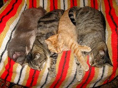 Blueboy, Paul, Amber and Beck (Hairlover) Tags: pet cats pets public cat kitten kitty kittens kitties cc400 bestofcats kittyschoice hairlover catmoments 5boc threeleggedcatpaul