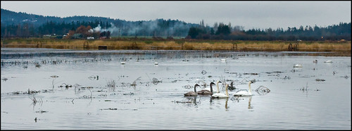Trumpeter swans at Martindale