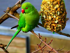 Rose-ringed parakeet (Just a guy who likes to take pictures) Tags: winter holland color colour tree verde green bird netherlands colors amsterdam rose europa europe groen colorphotography nederland thenetherlands vert boom eat parakeet holanda vondelpark paysbas ringed eten vogel niederlande the kleur halsbandparkiet staart papagaai colourphotography nootjes psittaculakrameri grun roseringed psittacula krameri kleurenfotografie