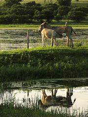 Amamentar  preciso (Diogo Santos - FOTOREVEL STUDIO) Tags: verde animal gua brasil bahia cerca reflexo cor filhote mato farpado jegue amamentar paisagemnatural canons5 aramen serrolndia