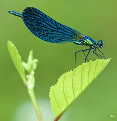 Calopteryx Vierge. (gille33) Tags: macro art nature gallery dragonfly sony best worlds demoiselle insectes select libellule the calopteryx odonata photoqueen otw a700 sweetfreedom abigfave omot colorphotoaward aplusphoto bratanesque citrit naturewatcher colourartaward macrolife alpha700 sonya700 sonyalpha700 sonydslra700 ahqmacro magicdonkeysbest colorfullaward colorsinourworld alittlebeauty mdtbmasterpiece worldclassnaturephoto mygearandmepremium mygearandmebronze mygearandmesilver mygearandmegold gillesremus