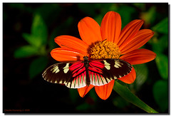 Orange on Black (Fraggle Red) Tags: orange black flower macro green nature butterfly raw florida upclose butterflyworld coconutcreek heliconius canonef100mmf28usmmacro tradewindspark bej theunforgettablepictures browardco theperfectphotographer goldstaraward vosplusbellesphotos adobelightroom22