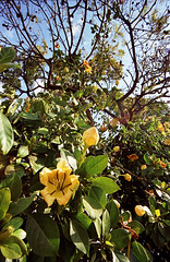 034_A Golden Chalice Vine, in Tana, Madagascar. (freddyjohansen) Tags: flower yellow tana madagascar antananarivo solandra solandramaxima madagaskar cupofgold chalicevine goldenchalicevine goldcupvine