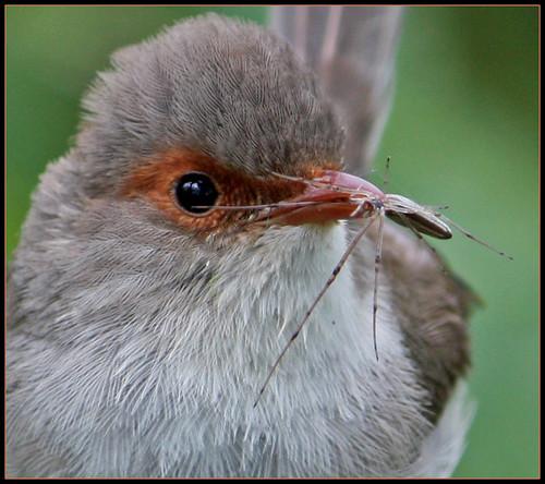 Closeup of Female Superb Wren