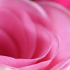 .....in the depth of my soul.... (janoid) Tags: pink beautiful rose petals lovely excellence xoxoxox janoidmagic