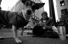 homeless dog (Chris A Carlson) Tags: chris dog chihuahua san francisco downtown cola carlson homeless mcdonalds cheeseburger coca jackrussel thelittledoglaughed ldlnoir