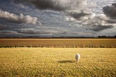 Lonely Sheep (Jonne Seijdel) Tags: sky holland netherlands dutch clouds canon landscape europe sheep nederland meadow wideangle pasture 1022 uwa 40d abigfave seijdel anawesomeshot diamondclassphotographer fbdg jonneseijdel gettyimagesbeneluxq1