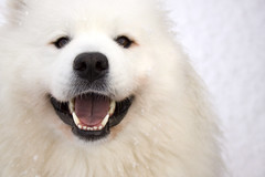 His First Snow Fall! (Michelle in Ireland) Tags: dog pet white snow smiling animal tongue mouth nose happy eyes emotion samoyed teeth explore ludo challengeyouwinner mywinners impressedbeauty smilingsammy