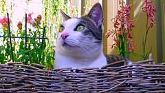 Lounging About the Yard (End of Level Boss) Tags: cat garden kat chat pussy sydney australia gato nsw newsouthwales katze mace cath  macska  2009 kot gat koka kedi kass  katt kissa kttur maka kucing pusa mo     foofoo kat  kais   jannali pisic   bestofcats  catnipaddicts