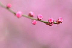 We're All Ready (*Sakura*) Tags: pink flower macro japan blossom plum explore sakura bud ume  earlyspring