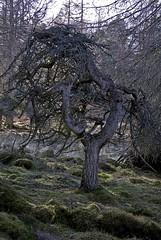 Twisted Birnam Pine (photopath) Tags: dunkeld birnam birnamwood kingsseat birnamhill