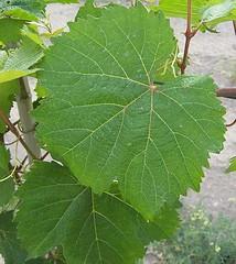 Malbec leaves