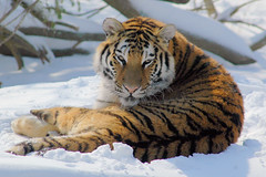 You're getting sleeeepy... (ucumari) Tags: columbuszoo columbus ohio snow animal mammal zoo march tiger siberian 1001nights 2008 amurtiger outstandingshots specanimal abigfave ucumariphotography anawesomeshot impressedbeauty