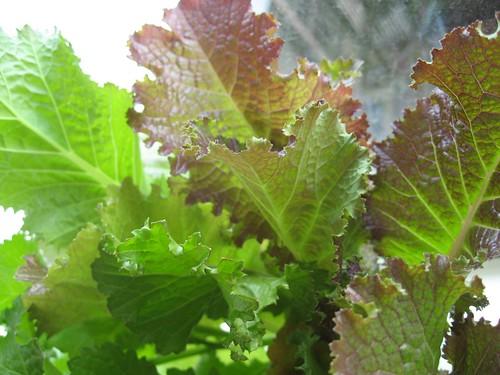 2008-03-11_mustard_greens.jpg