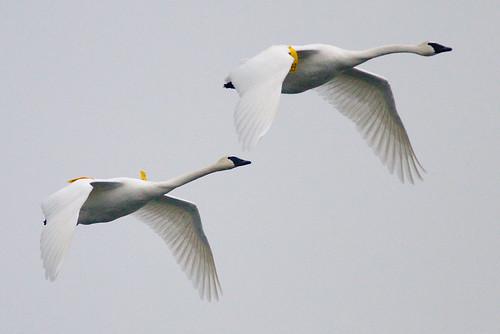 trumpeter swan flying. Trumpeter Swans in Flight