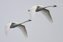 Trumpeter Swans in Flight (Phil Armishaw) Tags: park wild copyright bird birds burlington phil harbour hamilton swans lasalle hfg trumpeter naturesfinest armishaw