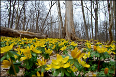 Carpet of Winter Aconite