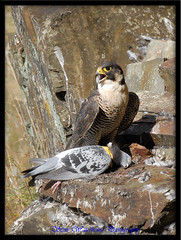 ADULT FEMALE PEREGRINE FALCON AND PIGION (700 MM LENS HAND HELD) (spw6156) Tags: copyright female lens woods hand adult steve falcon and mm held 700 nationaltrust falcons raptors waterhouse peregrine pigion plymbridge worldbest cannquarry spw6156 stevewaterhouse plymperegrineproject plymbridgeperegrinefalcons copyrightstevewaterhouse